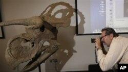 """Реконструкция """"Nasutoceratops titusi"""" в Музее естественной истории Юты , 17 июля 2013г."""
