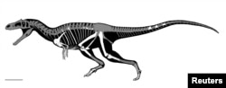 This is a skeletal reconstruction of the Cretaceous Period predatory dinosaur named Gualicho shinyae, whose fossils were unearthed in Argentina.