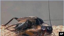 交配之后母蟋蟀仍有能力选择谁做父亲