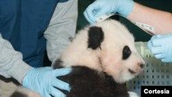 """Bautizan al cachorro panda con el nombre de Bao Bao que significa """"precioso o tesoro""""."""