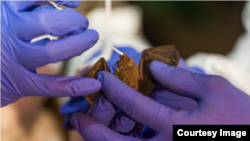 Scientists from the Smithsonian's Global Health Program take samples from a bumble bee bat in Myanmar. (Photo: Roshan Patel, Smithsonian's National Zoo and Conservation Biology Institute)