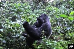 Gorillas on the Brink