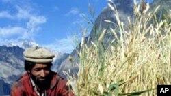 بھارت میں گندم کی ریکارڈ پیداوار