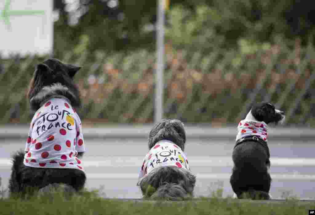"""Tiga anjing mengenakan kostum sepeda duduk di tepi jalan di Mettmann, Jerman. Etape kedua lomba balap sepeda """"Tour de France"""" dari Duesseldorf ke Liege di Belgia akan melewati jalan Mettmann ini."""