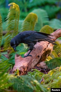 A captive Hawaiian crow using a stick tool to extract food from a wooden log is shown in this image released on Sept. 14, 2016. (Courtesy Ken Bohn/San Diego Zoo Global)