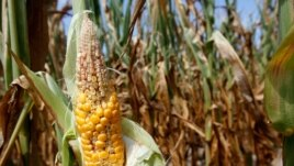 Corn plants struggle to survive in drought-stricken farm fields in Ferdinand, Indiana.