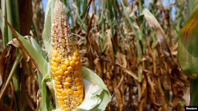 Isušene stabljike kukuruza na farmi u Indijani