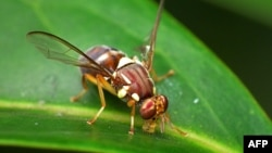 A handout photo shows a Queensland fruit fly on a leaf, March 21, 2014. (CSIRO photo)
