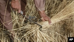 An Afghan farmer reaps wheat on his farmland on the outskirts of Kabul, June 28, 2011