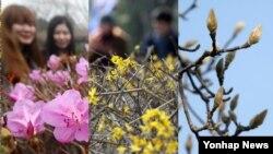 세계적 이상기온으로 포근한 날씨가 지속되면서 4일 한국 각지에서 봄꽃이 피어 눈길을 끌었다. 왼쪽부터 제주대학교의 진달래, 울산 대왕암공원의 개나리, 울산 남구청의 목련.