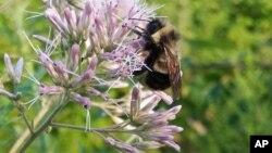 Las siete especies de abejas contarán con una protección especial en virtud de la Ley de Especies en Peligro.