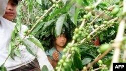Труд детей на кофейных плантациях в Панаме. Архивное фото.