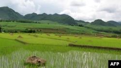 中国云南的稻田