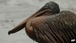 در این تصویر آرشیوی، یک پلیکان دیده می شود که در اثر نشت نفت در سواحل لوئیزیانا، نفتی شده است.