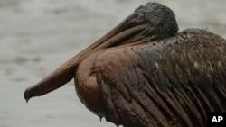 Un pélican victime de la marée noire de BP Deepwater Horizon sur la plage à East Grand Terre Island en Louisiane le 3 juin 2010. (AP Photo/Charlie Riedel, File)