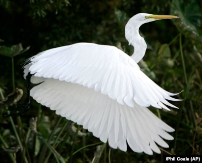 what is a white heron