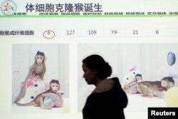 上海中国科学院神经科学研究所召开记者会展示克隆猴中中和华华。(2018年1月25日)
