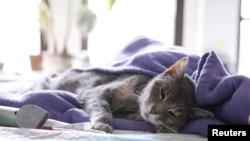 Kucing bernama Ivy, milik Robert Mihalik dan Leslie Newman sedang diperiksa oleh dokter hewan yang melakukan kunjungan rumah di tengah pandemi virus corona di Manhattan, New York, 31 Maret 2020.(Foto: Reuters)