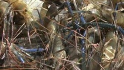 Some of the prawns harvested by the Corbins, a family of tobacco farmers in Tennessee who have gotten into aquaculture