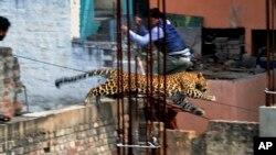 Dalam foto tertanggal 23 Februari ini terlihat seorang pria berusaha menghindari terjangan seekor macan seekor macan tutul lepas di kota Meerut, India.