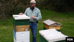 Beekeeper Mark Emrich checks his hives near Rochester, Wash., April 2013 (T.Banse/VOA).