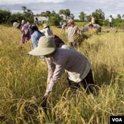 Panen raya di Thailand dan Vietnam, dua negara penghasil beras terbesar di Asia, membantu menstabilkan harga beras di Asia Pasifik.