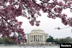 Влада Вашингтона спробувала обмежити потік туристів і місцевих до міст цвітіння вишні, подивитись на яке щороку приїздило 700 тисяч людей