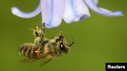 FILE - A bee covered with pollen hooks itself onto a petal of a bluebell in a garden. (REUTERS/Toby Melville)