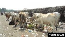 Sapi pemakan sampah di Solo (Foto: VOA/Yudha)