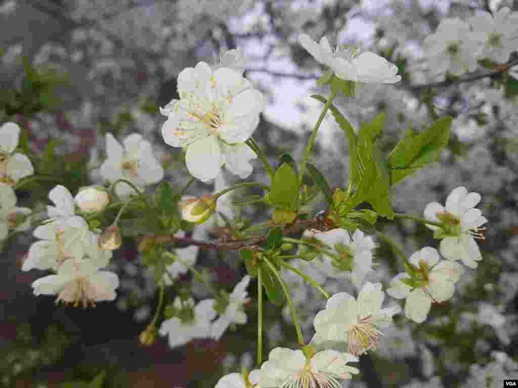 شکوفه های درخت آلبالو - قائمشهر، مازندران عکس: آذر (ارسالی شما)