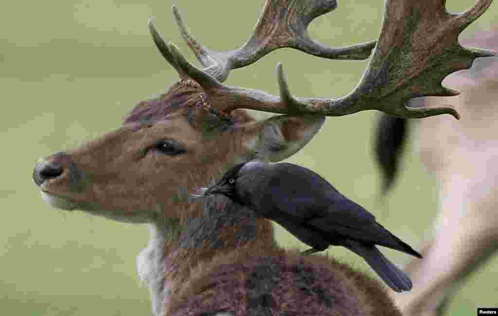 Seekor burung hinggap pada tubuh seekor rusa di Bushy Park, London, Inggris.