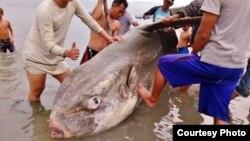 Ikan Mola Mola ditemukan oleh para nelayan terdampar di Teluk Palu. (Courtesy : BKSDA Sulawesi Tengah)