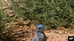 Western scrub-jays are important dispersers of piñon pine seeds. A single individual may hide thousands of seeds in scattered caches in the ground.