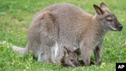FILE - A baby kangaroo looks out from its mother's pouch in the Zoo in Erfurt, central Germany. The attempted plot involved painting a kangaroo with the Islamic State symbol, packing its pouch with C4 explosives, and releasing it into the city during the festivities for Anzac Day.