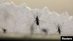 Muỗi vằn Aedes aegypti truyền virus Zika.