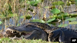 A python wraps itself around an alligator in Everglades National Park.