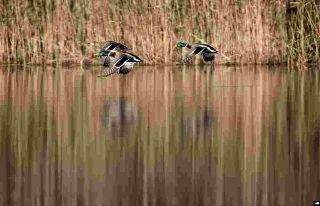 Tiga itik liar terbang di atas danau di kota Tonovo, 70 kilometer sebelah barat Minsk, Belarusia.