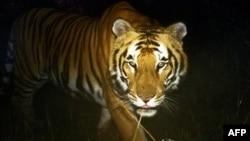A Royal Bengal tiger walks in Bardiya National Park in southern Nepal, March 1, 2013.