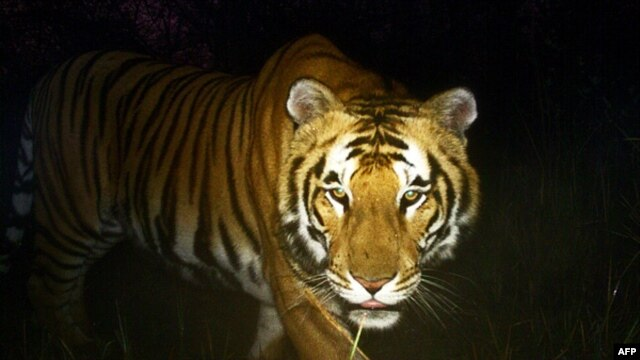 A Royal Bengal tiger walks in Bardiya National Park in southern Nepal,  March 1, 2013.