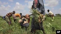 Les habitants s'activent à récolter dans les champs d'une ferme communautaire qui reçoit l'assistance de l'Organisation des Nations unies pour l'agriculture et l'alimentation (FAO), à Dolo, Somalie, le 21 novembre 2011.