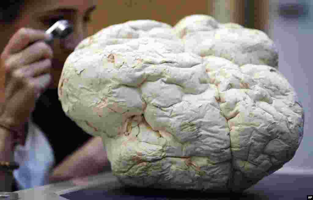 Scientist Laura Martinez-Suz examines the Calvatia Gigantea fungus, one of the biggest once also called puffball, at Kew Gardens' fungarium in London, Sept. 11, 2018.