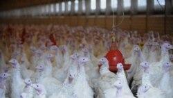 پیدا شدن «دیوکسین» در گوشت مرغ در آلمان