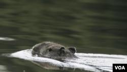 Los carpinchos, como los del río Xingú en Brasil, tienen la virtud de poder nadar debajo del agua por hasta 5 minutos, lo que hace muy difícil perseguirlos.