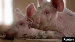 Theo FAO, dịch tả lợn châu Phi không lây và gây bệnh cho con người. Tuy nhiên, virus này gây tử vong cho lợn nuôi và lợn rừng.