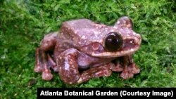 A Rabbs' fringe-limbed tree frog died at the Atlanta Botanical Garden in late September. It was the last known one alive.