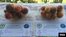 نمای از میوه های درختی در نمایشگاه هرات