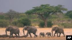 Una manada de elefantes caminan por la reserva natural de Zimbabwe, en búsqueda de agua. Más de 200 paquidermos han muerto debido a las sequías.