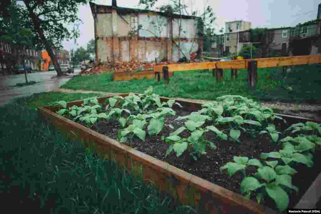 Derrière la murale de Freddie Gray, un jardin a été planté pour commémorer la renaissance du quartier que plusieurs associations essaient d'organiser, Baltimore, le 6 mai 2016. (VOA/ Nastasia Peteuil)