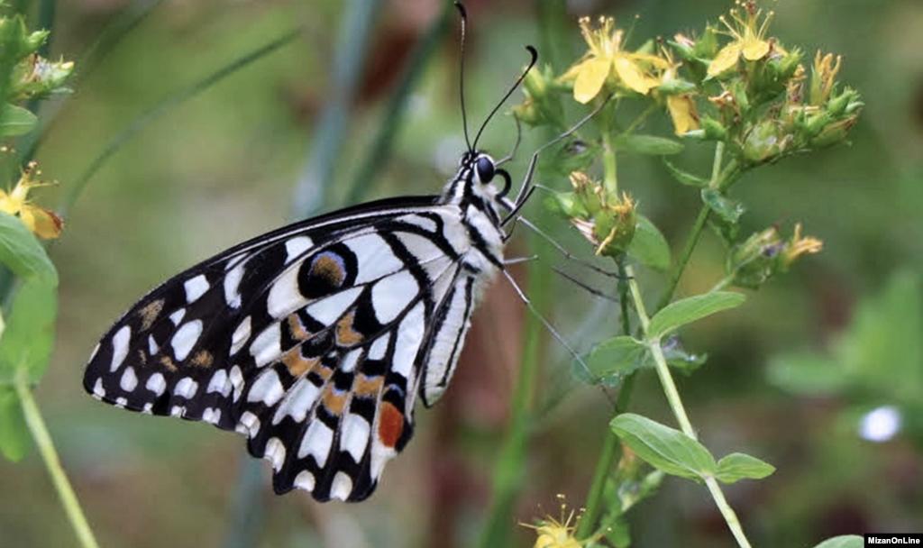 پروانه ای زیبا در طبیعت زیبای چالوس عکس: فاطمه سام دلیری