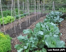 Pictured here, are hardy vegetables, such as cabbage and other seasonal greens, growing in Lee Reich's upstate New York garden. Growing fall vegetables is like having a whole other growing season in the garden. (AP Photo/Lee Reich)